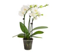 Midi-Schmetterlingsorchidee, 2-Trieber