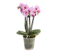 Midi-Schmetterlingsorchidee, 4-Trieber, Sortenmix