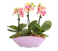 Midi-Schmetterlingsorchidee im Glasschiff