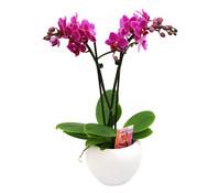 Midi-Schmetterlingsorchidee im Keramik-Topf