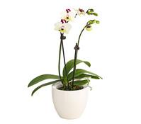 Midi-Schmetterlingsorchidee im Keramiktopf