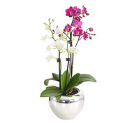 Midi-Schmetterlingsorchidee 'Twin', 4-Trieber, im Keramiktopf