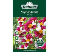 Mignondahlie 'Smarty', Blumenzwiebel von Dehner Premium