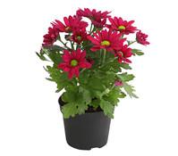 Mini-Chrysantheme 'Swifty'