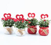 Mini-Rosen, im Keramik-Übertopf