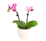 Mini-Schmetterlingsorchidee, 2-Trieber, im Keramiktopf