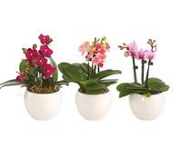 Mini-Schmetterlingsorchidee, 4-Triebe, im Keramik-Topf
