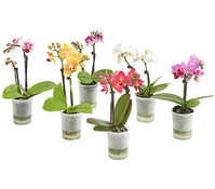 Mini-Schmetterlingsorchidee 'Aqua Orchids®'