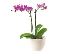 Mini-Schmetterlingsorchidee im Keramik-Topf