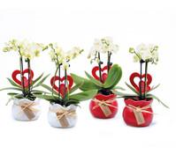 Mini-Schmetterlingsorchidee, mit Keramik-Übertopf