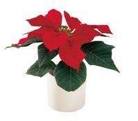 Mini - Weihnachtsstern, rot