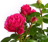 Nostalgische Edelspray-Rose 'Magic Rokoko'®