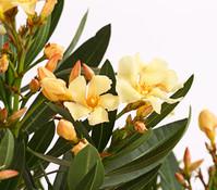 Oleander, Solitärbusch Mix