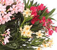Oleander, Solitärbusch 'Trio'