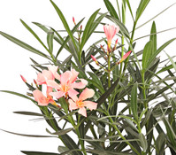 Oleander, Solitärbusch