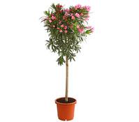 Oleander, Solitärstamm