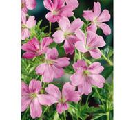 Oxford-Storchschnabel 'Wargrave Pink', 3er Pack