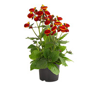 Pantoffelblume 'Calinopsis'