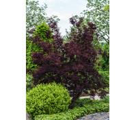 Perückenstrauch 'Royal Purple', 30 - 50 cm