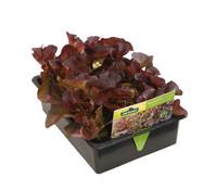 Pflücksalat Roter Eichblatt, lausresistent, 12er Schale