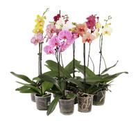 Phalaenopsis, 1-Trieber, Mix