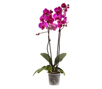 Phalaenopsis, 2-Trieber