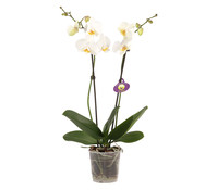 phalaenopsis 2 trieber. Black Bedroom Furniture Sets. Home Design Ideas
