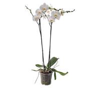 Phalaenopsis, großblütig, weiß, 2-Trieber