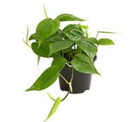 Philodendron - Baumfreund