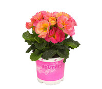 Primel 'Girls Delight'