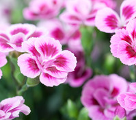 Prinzess-Nelke 'Pink Kisses'®