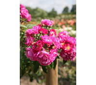 Ramblerrose 'Perennial Blue®'