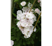 Ramblerrose 'Perennial Blush'®