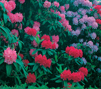 Rhododendron, Alpenrose 'Inkarho®'