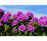 Rhododendron, Alpenrose 'Inkarho®'