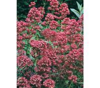 Rote Spornblume 'Coccineus'