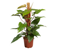 Roter Baumfreund - Philodendron 'Red Emerald'