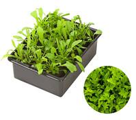 Salat : Dehner Garten Center Blattsalat Pflanzen Pflege Tipps Garten