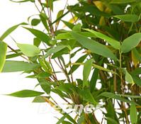 Schirm-Bambus 'Jumbo'