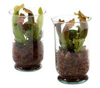 Schlauchpflanze 'Maroon' im Glas