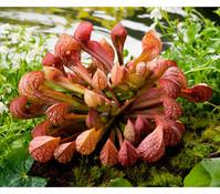 Schlauchpflanze 'Rednek'