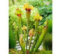 Schlauchpflanze