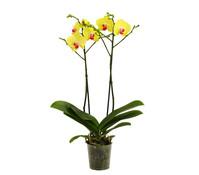 Schmetterlingsorchidee, 2-Trieber, verzweigt
