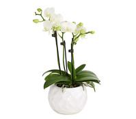 Schmetterlingsorchidee, 4-Trieber, im Keramiktopf