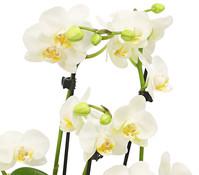 Schmetterlingsorchidee, 6-Trieber, in Kunststofftopf