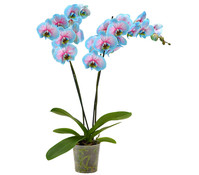 Schmetterlingsorchidee 'Blue Wonder'