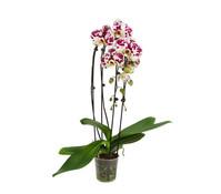 Schmetterlingsorchidee 'Cascade', 2-Trieber