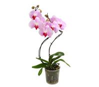 Schmetterlingsorchidee 'Hurricane', 2-Trieber