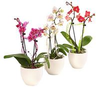 Schmetterlingsorchidee, im Keramiktopf und Dekoband