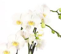 Schmetterlingsorchidee, weiß, 7-Trieber, in Keramik